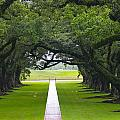 Trees At Oak Alley Plantation by Denise Mazzocco