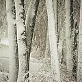 Trees by Carolyn Fox