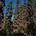 Trees Covered With Monarch Butterflies by Carol Ailles