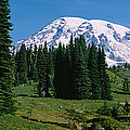 Trees In A Forest, Mt Rainier National by Panoramic Images