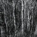 Trees In Black And White by Linda Unger
