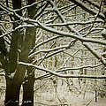 Trees In Snow by Jacqui Hall