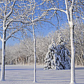 Trees In Snow  Wisconsin by Anonymous