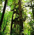 Trees In The Hoh National Rain Forest by Jeff Swan