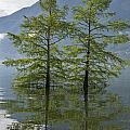 Trees On A Flooding Alpine Lake by Mats Silvan