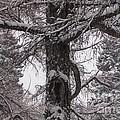 Trees Under Snow by Anna Yurasovsky