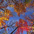 Treetops In Fall Forest by Elena Elisseeva
