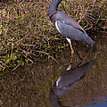 Tri-colored Heron 1 by Photos By  Cassandra