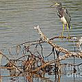 Tri-colored Heron On The Water by Natural Focal Point Photography