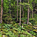 Triberg Forest by Marcia Colelli