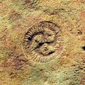 Tribrachidium Fossil by Sinclair Stammers/science Photo Library