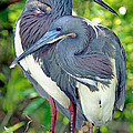 Tricolor Heron Adults In Breeding by Millard H. Sharp
