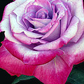 Tricolor Rose by Dave Mills