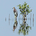 Tricolored Heron by Frank Selvage