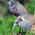 Tricolored Heron Male And Female At Nest by Millard H. Sharp
