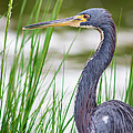 Tricolored Heron by Robert Frederick