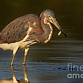 Tricolored Heron With Fish by Jerry Fornarotto