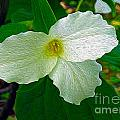 Trillium In The Forest by Nina Silver