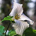 Trillium Purity by Christopher Arndt