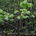 Trilliums Grow Deep Inside Forest by Gail Matthews