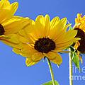 Trio In The Sun - Yellow Daisies By Diana Sainz by Diana Raquel Sainz
