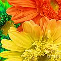 Trio Of Bright Colored Daisies by Tina M Wenger