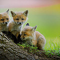 Trio Of Fox Kits by Everet Regal