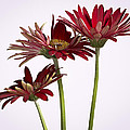 Trio Of Red Gerbera Daisys by Jean Noren