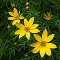 Trio Of Yellow Flower Blossoms by Sharon L Stacy