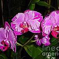 Triple Pink Phalaenopsis by Nancy Chenet