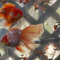 Triple Tail Goldfish by Robert Floyd
