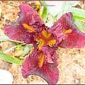 Tristar Iris by Sonali Gangane