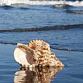 Triton Seashell by Anthony Totah