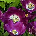 Triumph Tulips Negrita Variety by Byron Varvarigos
