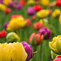 Triumphant Tulips by Lindley Johnson