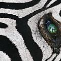 Trophy Hunter In Eye Of Dead Zebra by Frans Lanting MINT Images