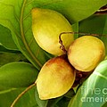 Tropical Almond by Amar Sheow
