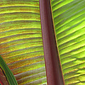 Tropical Banana Leaf Abstract by Duane McCullough