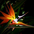 Tropical Bloom by Joedes Photography