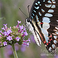 Tropical Butterfly by Chris Scroggins