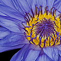Tropical Day Flowering Waterlily by Susan Candelario