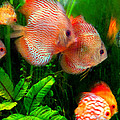 Tropical Discus Fish Group by Amy Vangsgard