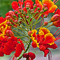 Tropical Flower Caesalpinia Red And Yellow by Valerie Garner