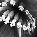 Tropical Flower In Black And White By Kelly Hazel by Kelly Hazel