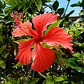 Tropical Hibiscus 002 by Lance Vaughn