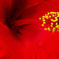 Tropical Hibiscus - Antigua Wind 01a by Pamela Critchlow