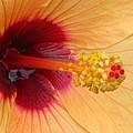 Tropical Hibiscus - Aruba Wind 01 by Pamela Critchlow