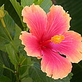 Tropical Hibiscus by Shane Bechler