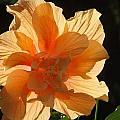 Tropical Hibiscus In The Sun by Sylvia Herrington