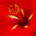 Tropical Hibiscus - Starry Wind 02a by Pamela Critchlow